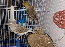 طيور كناري للبيع واقفاص للبيع ايضا القفص 25 للحبه