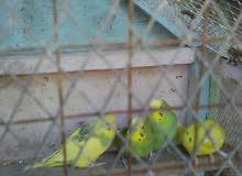 طيور حب عاديات