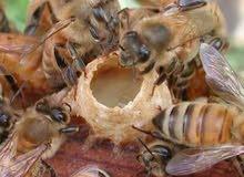 يوجد عندنا جميع أنواع عسل النحل ومشتقاته من المنحل إليكم عسل تحليل بسعر الجمله