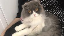 قطة جميلة حنونه للبيع مع اغراضها