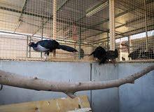أجمل طيور الفزنت للبيع.  Pheasants for sale