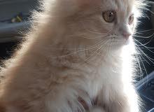 قطه شرازي