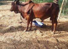 عجل صومال سمين