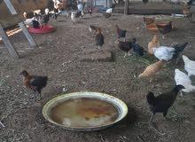 دجاج عماني عمرهن شهرين