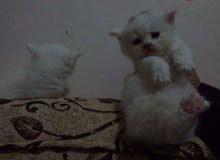 قطط شيرازى بيضاء وملونه كمان  للبيع