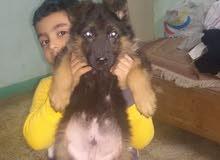 كلب جيرمن لونج هير شعرايه طويله
