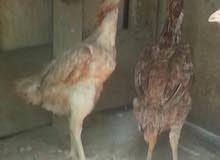3 دجاج تركي