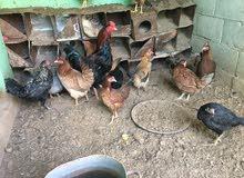 دجاج بلدي مع ديك بندوق باكستاني الدجاج  بياض شغل ترقيد بصيف بسعر مغري