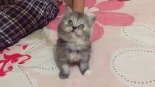 قطط شرازى الوان تحفه العمر 45 يوم الصحه جيده جدا