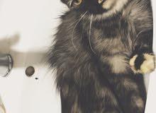 قطه شيرازي سيبيري
