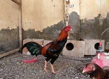 دجاج الباكستاني
