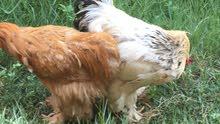 دجاج براهما عدد 9 ديك و8  دجاجات  بياضات حمر للبيع بسعر 50 الف سعر الواحد