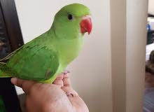 Hand fed 2.5 month old green ring neck contact watsapp only