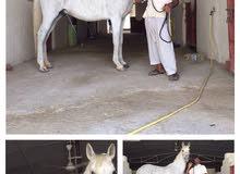 حصان قدره للبيع