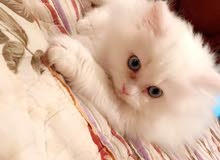 للبيع قطة شيرازي أمريكي بيور آليفة جدا