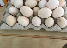 بيض بلدي ب20