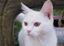 قطة بيضاء اللون جميلة جدا