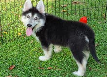 Husky Long Coat Puppies Available