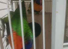 llorikit bird ready to breed including large cage and breeding box