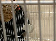 ZEBRA FINCH FOR SALE with cage