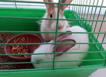 ارانب هولندية