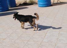 كلب جيرمن شيبرد لي البيع