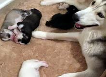 husky baby pure for sale
