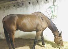 حصان انجليزي البيع