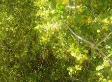 نبات السدر في هذه الايام  ربي يوفق جميع النحالين بعد تعب شديد