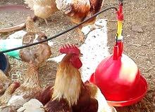 يوجد لدينا دجاج هندي بياض وبلدي بياض عمر 8 اشهر وبيض هندي مخصب وصيصان بلدي