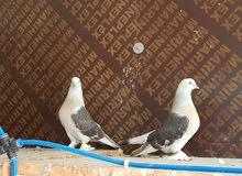 طيور تركيا للبيع