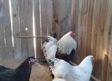 دجاج برهما للبيع