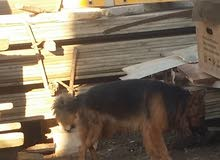 كلب جيرمن فحل مثل ماواضح بصورة السعر 8 $