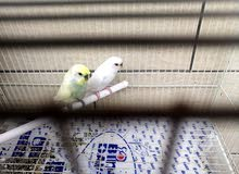 Budgies pair for sale