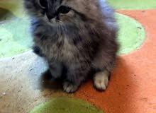 ثلاثة قطط العمر شهرين و عشرين يوم