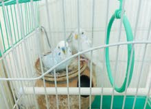 small cage with one pair budgies and food