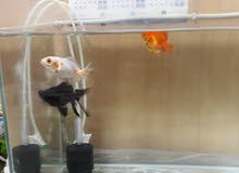 Fish Gold fish ready to bread 3 gold fish and 1 black fish with full setup only 300sr