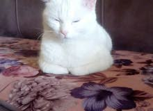 قطه شيرازيه كل عين لون حامل