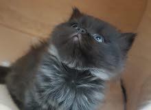 قطط من اب سكوتش و ام شيرازي