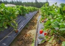 141hectars pour culture de fraise