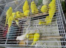 طيور هند لاتينو