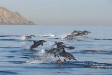 Watch Playful Dolphins & Enjoy the underwater world with Ocean Tours Oman