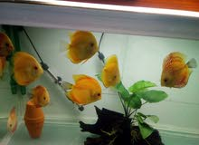 سمك ديسكس الحجم خمسه انش ونص