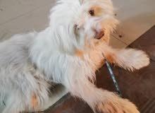 كلب زينة فرنش