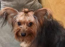 كلب يوركيش بيور من اب وام موجود اوراق جواز اغراض شامل