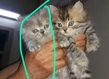 للبيع قطط صغار شيرازي العدد ثنين ذكر وأنثى العمر 50 يوم يأكلون لوحدهم