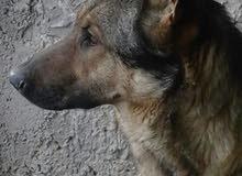 كلبه جيرمن شبرد DDR
