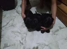 كلاب كوكر اسبانيول بلاك