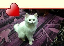 قطه انثى بيضاء للبيع