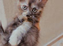 قطط انجورا اصليه غير مهجنه